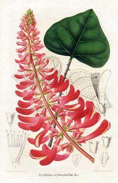 Leguminosae - Erythrina humeana - Erythrina erythrostachia From: Annales de la Société royale d'Agriculture et de Botanique de Gand, Journal d'horticulture by Charles Morren (editor).