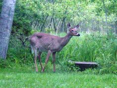 Deer-resistant plants. Goog ground covers, erosion stabilizers, and run-off control. Also good for septic mounds & feild.
