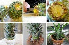 Ananász ültetés