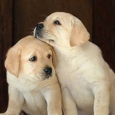 New Pics Labrador Retriever yellow Suggestions Would you recently allowed the latest Labrador Retriever within the home? Labrador Puppies For Sale, Lab Puppies, Cute Dogs And Puppies, Baby Dogs, Pet Dogs, Dog Cat, Doggies, Labrador Retrievers, Golden Retriever