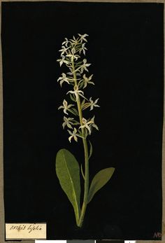 """Mary Delany, Botanical """"Paper Mosaiks"""" Artist, 1700-1778 - Orchis Bifolia"""