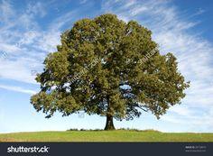 Photo about A large old Oak Tree with beautiful blue sky with clouds in the background, horizontal with copy space. Image of rind, background, huge - 11557447 Oak Tree Pictures, Tree Images, Sacred Groves, Picture Tree, Old Oak Tree, Arbour Day, Sky And Clouds, Growing Tree, Outdoor Survival