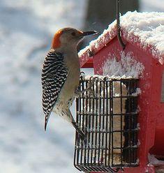 Bird Food Recipe: Woodpecker Pudding
