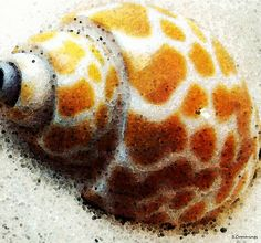 http://fineartamerica.com/featured/sea-shell-by-sharon-cummings-william-patrick.html