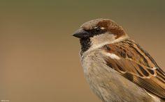 Sparrow, Mus