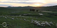 #Sicily: Meet an authentic #Sicilian #shepherd and #enjoy his #cheese!