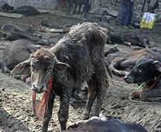 The world's largest animal sacrifice festival may not take place again! Pls sign and share!!