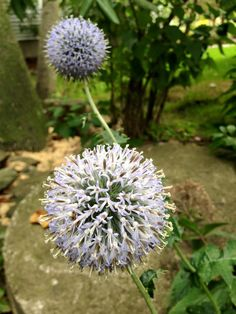 My fall garden: cleome, globe thistle, and asters. What do your autumn blooms look like?-Jackie