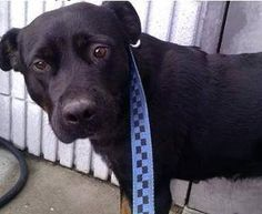 Petfinder  Adoptable   Dog   Black Labrador Retriever   Downingtown, PA   EUTH LISTED-NEXT TO DIE- DELILAH IN GASSING SHELTER