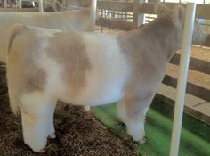 Matt lautner show cattle