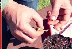 Cómo germinar semillas de limón en sólo 7 días. Cuánto tarda en dar fruto? Compost, Eco Garden, Food And Drink, Plants, Cactus, Terracota, Lima, Macrame, Gardening