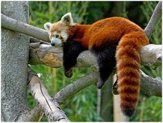 Der Kleine Panda (Roter Panda; Katzenbär)