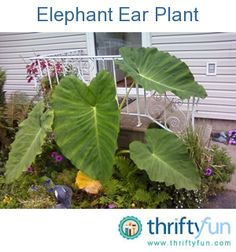 When do you transplant elephant ears?
