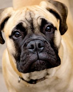 American English Bull Mastiff Puppy Dogs Hound Pups Hunting Puppies #BullMastiff