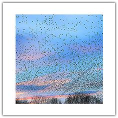 #Greetings card birthday / blank #notelet - starling #murmuration nature wildlife,  View more on the LINK: 	http://www.zeppy.io/product/gb/2/162028957426/