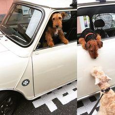 お洒落坊ちゃん登場🚙💕久しぶり〜🐶 #tokyo #国分寺 #petitloup #dog #love #cute #犬 #dogstagram #doglover #レイクランドテリア #lakelandterrier #terrier #愛犬 #可愛い #ぬいぐるみ犬  #happy #love  #ウェルシュテリア #welshterrier #犬友 #お洒落 #フレッシュネスバーガー #急に誘ったけど来てくれたよ