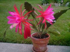 Epiphyllum Cactus on steroids