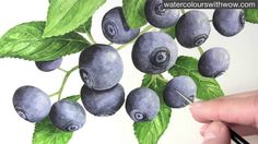 How to paint fruit in watercolor - blueberry 'bloom'  by Anna Mason