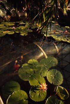 Visitors stroll in a clear tunnel beneath a pond of waterlilies in St. Louis, 1965. PHOTOGRAPH BY BRUCE DALE, NATIONAL GEOGRAPHIC