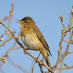 7656. Willow Warbler (Phylloscopus trochilus) | Europe, Asia