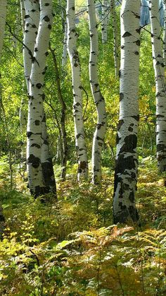 Trendy Ideas Landscaping Around Trees Scenery Tree Photography, Landscape Photography, Landscaping Around Trees, Aspen Trees, Tree Forest, Birch Forest, Photo Tree, Nature Pictures, Belle Photo