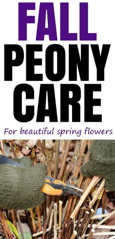 Make sure to take care of your peony plants with this fall peony care guide. Have beautiful spring flowers in your flower garden. Exotic Flowers, Beautiful Flowers, Purple Flowers, Peony Care Tips, Growing Peonies, Growing Flowers, Growing Plants, Planting Flowers, Plants