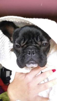 Polish, after her bath, clean French Bulldog ❤