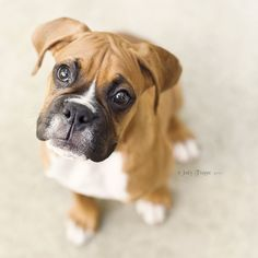 Cute boxer puppy.