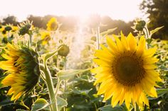 inspirational images and quotes about sunflowers