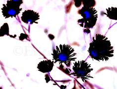 Fine Art Photography | Wildflower Print | Gothic Decor | Shabby Decor | Summer | Spring | Nature Photography | -Erica Massaro,  EDMPrintedEphemera