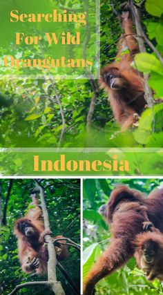 Searching for wild orangutans in Indonesia. For a taste of adventure we signed up for a 2 day jungle trek that included camping overnight deep in the jungle. We wanted to get up close and personal with the jungle and it's inhabitants. We wanted to see Orangutans in their natural environment. We wanted to push ourselves to the limit. Click to read more at http://www.divergenttravelers.com/jungle-thomas-jungle-tours/