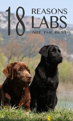 Labrador Retriever 18 reasons why Labradors make great pets - There are so many reasons to own a Labrador. They make great pets, and wonderful companions in life. Labrador Retrievers, Black Labrador Retriever, Retriever Puppy, Golden Retrievers, Schwarzer Labrador Retriever, Labrador Facts, Labrador Puppies, Corgi Puppies, Labrador Quotes