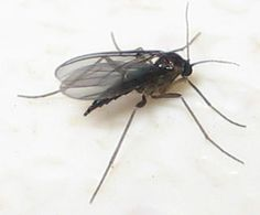 How to control fungus gnats organically | From Organic Gardening