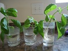 You can plant more basil from your leftover store-bought cuttings. | 30 Insanely Clever Gardening Tricks