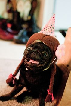 Super excited pug