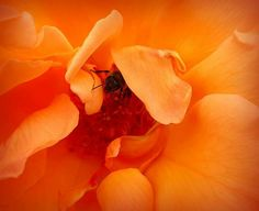 Bee on orange rose. Photo by Petra Elliot 🌅