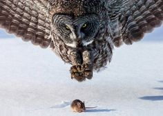 Owl preying on mouse