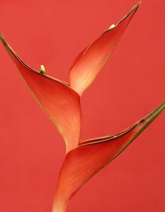 Pantone Flame Orange / Bird of Paradise Flower Macro Coral Color, Coral Pink, Orange Color, Orange Bird, Coral Orange, Pale Dogwood, Winter Color, Pantone 2017 Colour, Live Coral