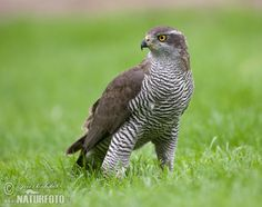 Jastreb (Accipiter gentilis) goshawk - they often hunt near farmland or human settlements for preying on poultry