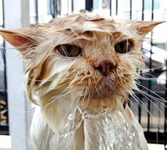 How Much Water Does A Cat Need to Drink? There is no set answer to this question. Like all living creatures water is essential to maintain vital bodily functions in cats. Cats can suffer from