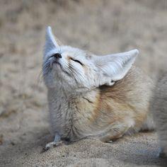 I Love Cats, Cool Cats, Animals And Pets, Cute Animals, Fantastic Mr Fox, Fennec Fox, Foxes Photography, Pet Fox, Fox Art