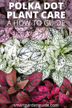 Polka Dot Plant Care Learn how to grow the hypoestes plant indoors at hypoestes phyllostachya The beautiful pink polka dot plant is one of my favorite house plants # Outdoor Plants, Garden Plants, Plants Indoor, Garden Shrubs, Outdoor Gardens, Household Plants, Belle Plante, Smart Garden, Pink Plant