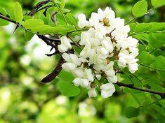 Apa din flori de salcâm, ideală pentru ten uscat | De Gen Feminin Medicinal Herbs, Romania