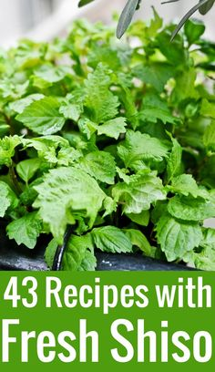 Laid your hands on some shiso (aka perilla or Japanese basil) and not sure what to do with it? Here are 43 inspired shiso recipes, ideas, and tips. Nigiri Sushi, Sashimi, Basil Recipes, Salad Recipes, Herb Recipes, Potato Recipes, Soup Recipes, Mexican Food Recipes, Vegetarian Recipes