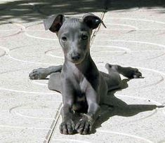 Italian Greyhound puppies are cute. The Italian Greyhound is the smallest of the sighthounds, typically weighing about 8 to 15 lbs and standing about 13 to 15 inches tall Miniature Italian Greyhound, Italian Greyhound Puppies, Blue Italian Greyhound, Greyhound Breed, I Love Dogs, Cute Dogs, Magyar Agar, Animals Beautiful, Cute Animals