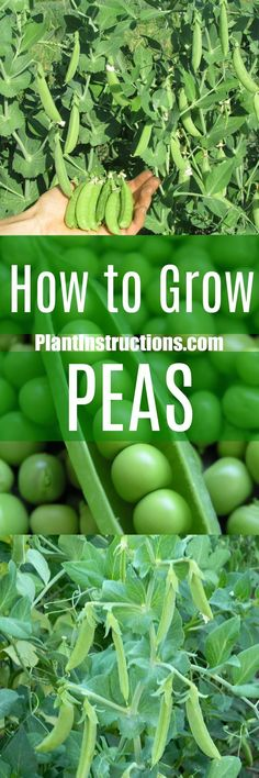 How to Grow Peas | Plant Instructions