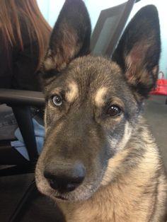 We love having Pinot in the office! She's a Shusky AKA a Siberian Husky/German Shepherd mix :)