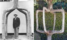 """A farmer in California, Erlandson had noticed the curious ability of trees to naturally graft themselves together. So, in 1925 Erlandson began planning a series of trees that were deliberately grafted together for artistic effect. His first creation was the """"Four Legged Giant,"""" four trees which he merged into a single truck, creating a kind of tree-gazebo."""