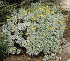 encelia_farinosa. brittle bush