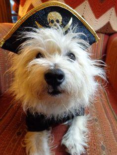 Happy Talk Like A Pirate Day ye scurvy dogs! #pirate #dog #tawdryterrier #westie #westhighlandwhiteterrier #terrier